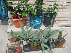 HOUSEHOLD Plants and PERENNIALS