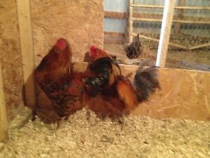 Rooster looking for new home
