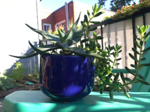 Aloe and succulent plant