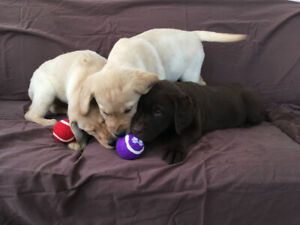 Happy, Friendly Golden Labrador Retriever Puppies