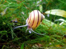 Asolene Spixi & Red/blue ram's horn snail (aquarium snails)