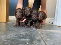 Only 2 brown male cockapoo pupps left