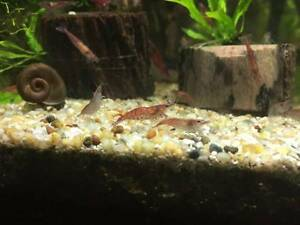 Large Cherry Shrimp For Sale Roselands Canterbury Area Preview