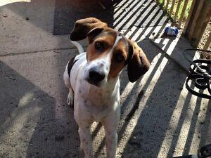Walker hound needs hunting/tracking partner