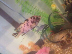 adult male African cichlids London Ontario image 5