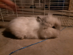 Extra fluffy lionhead for sale