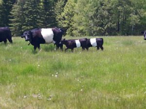 Heifer calves