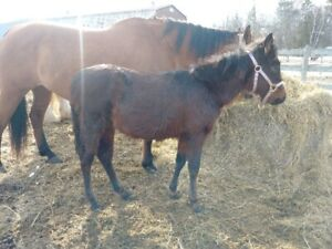 **EASTER WEEKEND SPECIAL ** Quarter Horse filly PPU