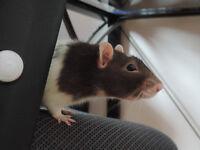 Rats et accessoires à donner