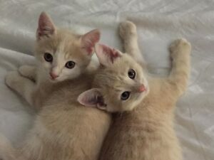 2 Wonderful Orange Tabby Kittens- Free to a loving home