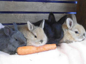 BABY BUNNIES FOR SALE  !!!  AND BABY GUINEA PIGS !!!