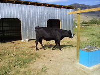 angus cross yearling for sale