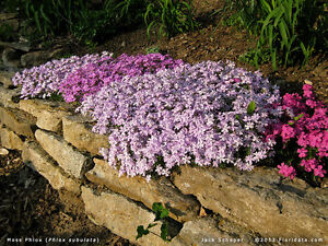 PHLOX - Looking For