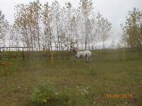 Two Appaloosa colts