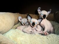Chaton Elf cat et Sphynx