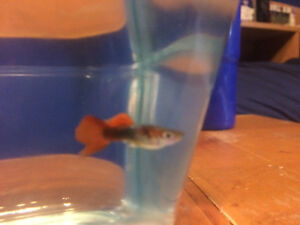3 adult male guppies + more for trade