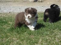 Registered Mini American (Mini Australian Shepherd) Puppies