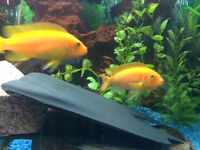 ADULT YELLOW LAB AFRICAN CICHLIDS AND FRY