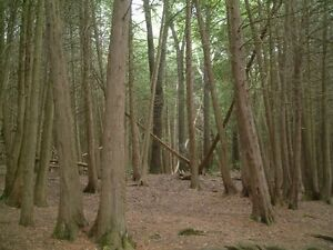 Looking for standing cedar, spruce, balsam fir and red pine Cornwall Ontario image 1