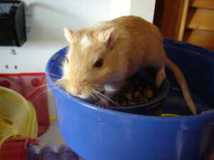 Gerbils need new loving home