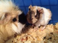 Mom and son guinea pigs