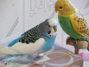Lost Budgie in Halifax