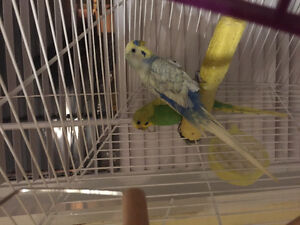 Two Budgies with cage and supplies