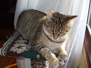 chatte couleur tigré perdu
