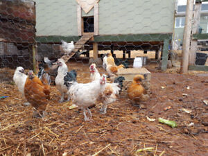 Free Silkie Mix Young Roosters