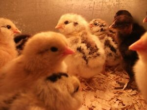 HATCHING  OCTOBER-JANUARY DAYS OLD OLIVE EGGERS,TURKENS AND MORE