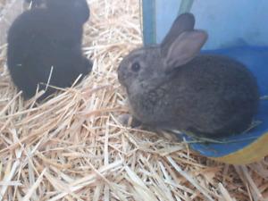 Baby mini lop mix rex rabbits