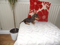 KC reg miniature smooth haired dachshund puppy's