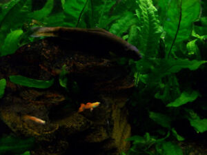 Guppies and water plants (Java Ferns)