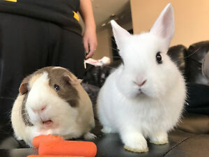Two bunnies and two guinea pigs needs a sitter for this summer!