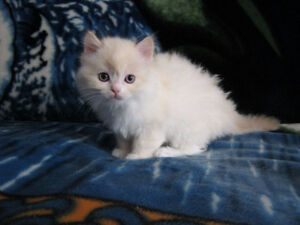 Flame point fluffy kitten