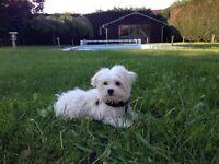 9 Month Maltese Pup