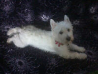 Westie looking for dedicated dog lover