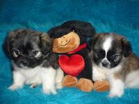 Pomeranian crossed