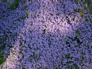Thyme Creeping Lemon evergreen aromatic herb plant bees ground cover 9cm pot