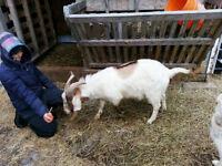 Boar-Nubian Billy Goat