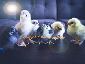 Chicks and hatching eggs