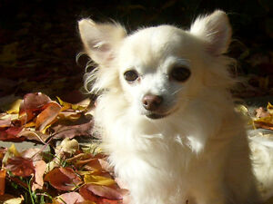 Missing Chihuahua ***LARGE REWARD***