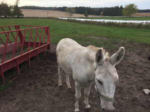 Male Donkey for Sale London Ontario image 1