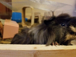 Free Guinea pigs to rehome