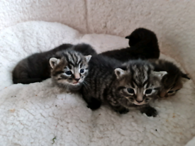 BEAUTIFUL KITTENS (ALL KITTENS SOLD)!