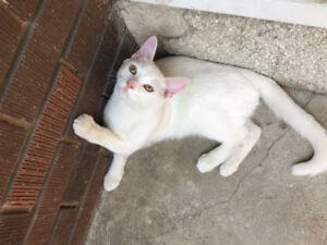 MISSING WHITE CAT MALE