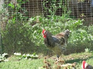 1 trio of swedisch flower hen chickens for sale