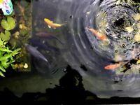 Koi Carp / fish for sale