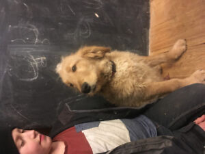 Golden doodle female and male puppies