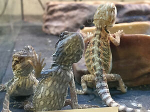 Juvenile Bearded dragon reptiles for sale